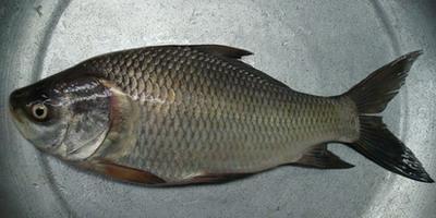 how to catch katla fish