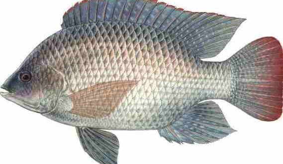 Tilapia fish medium 500gm online grocery store in for Fishing for tilapia